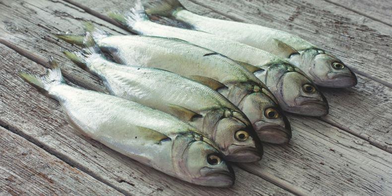Lüfer Balığı Özellikleri, Avlama Dönemleri